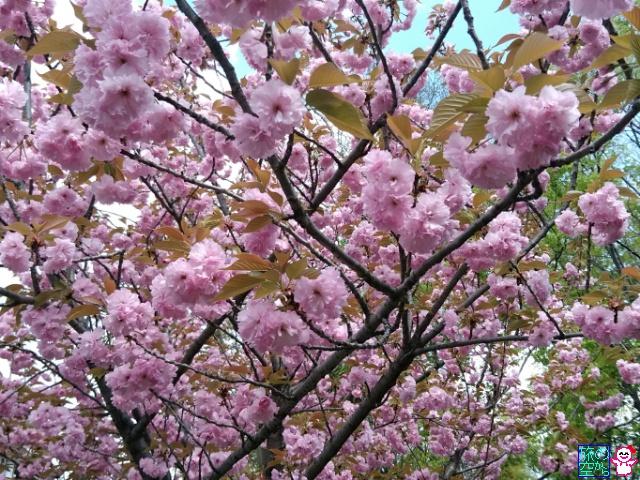 旅の空からb♪: 桜
